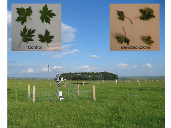 Impact of pollution on Buttercup plants in drought experiments
